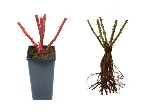 The difference between bare root and potted roses