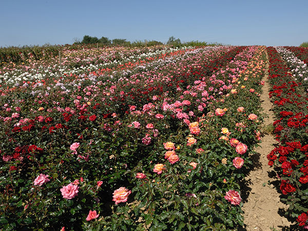 Field Grown Roses