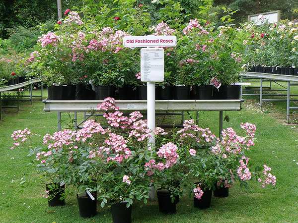 Visit Hampshire Rose Nursery