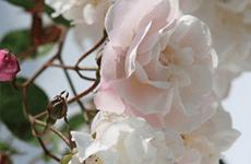 Climbing & Rambling Roses
